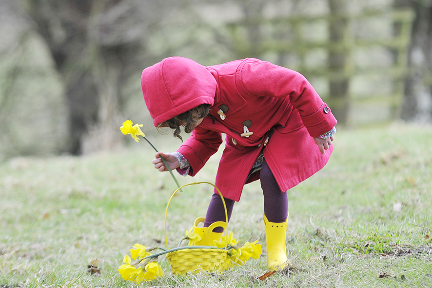 Lancashire children's photographer, a little girl wearing a red coat picks daffodils